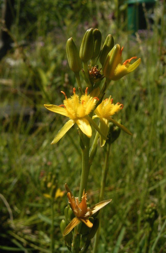 Moorlilie - Blume des Jahres 2010