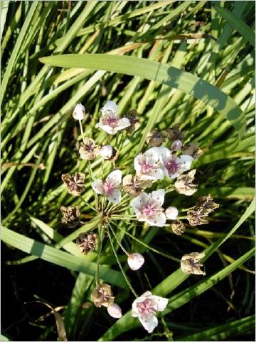 Schwanenblume im Schilfgürtel der Ems bei Warendorf, Foto: Ursula Jörgens