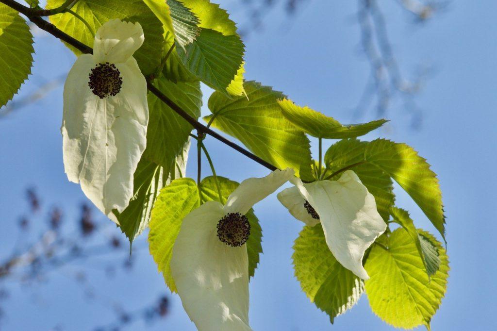 Taschentuchbaum (Foto: Klaus Brink)