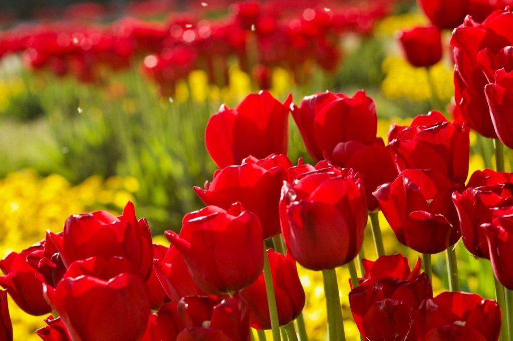 Tulpen (Foto: Klaus Brink)