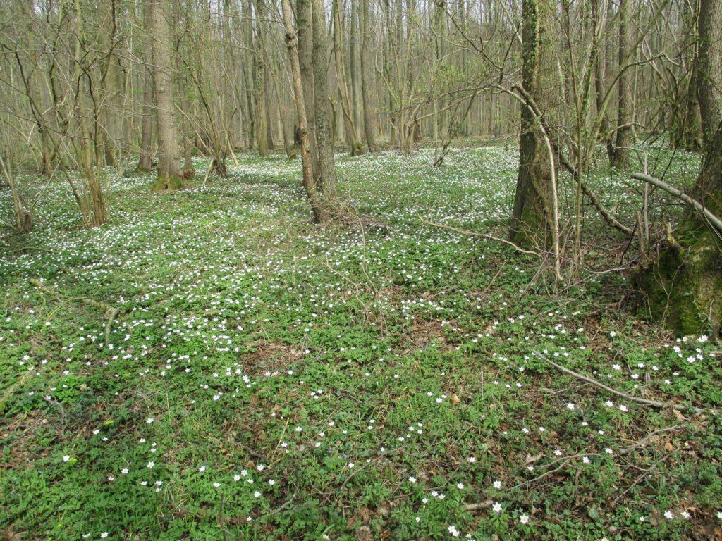 Wald mit Buschwindröschen (Foto: Gabriele Deppe)